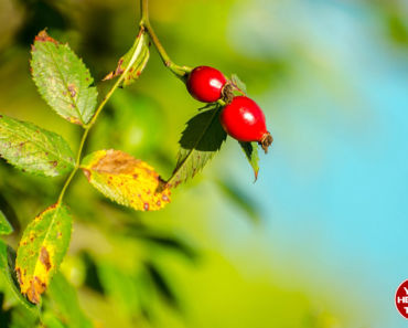 5 Health Benefits of Rose Hip