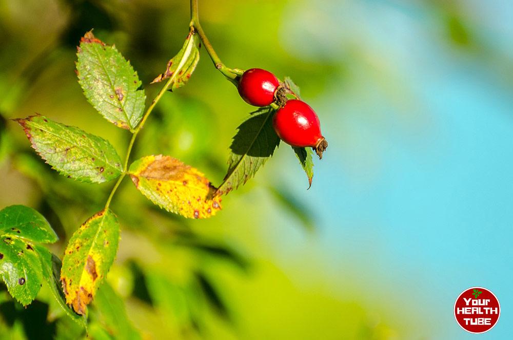 5 Health Benefits of Rose Hip